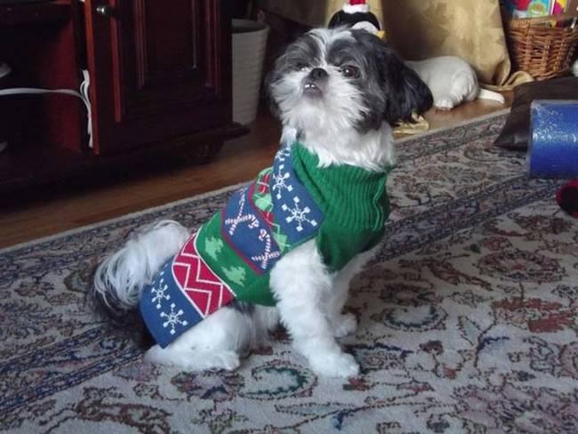 18-Cães-com-roupas-de-Natal-Blog-Animal (9)