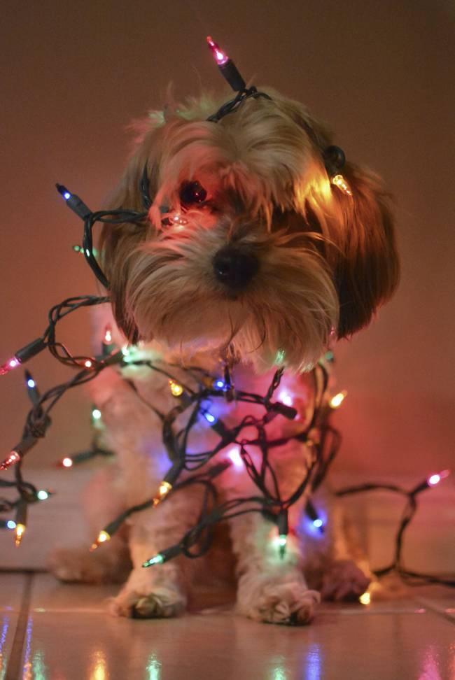 Animais-de-Estimação-VS-Decorações-de-Natal-Blog-Animal (11)