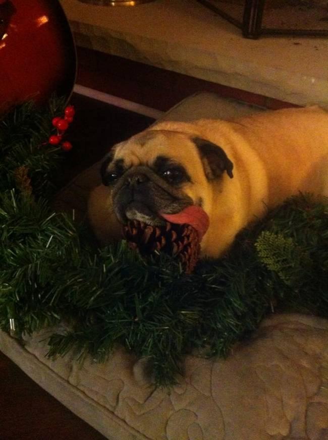 Animais-de-Estimação-VS-Decorações-de-Natal-Blog-Animal (14)