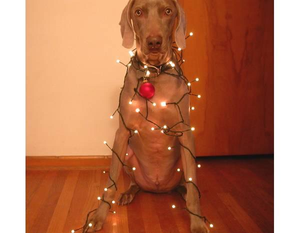 Animais-de-Estimação-VS-Decorações-de-Natal-Blog-Animal (2)