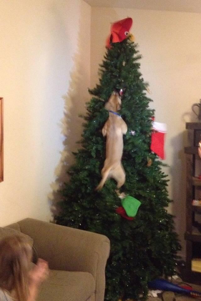 Animais-de-Estimação-VS-Decorações-de-Natal-Blog-Animal (8)