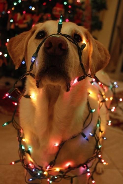 Animais-de-Estimação-VS-Decorações-de-Natal-Blog-Animal (9)