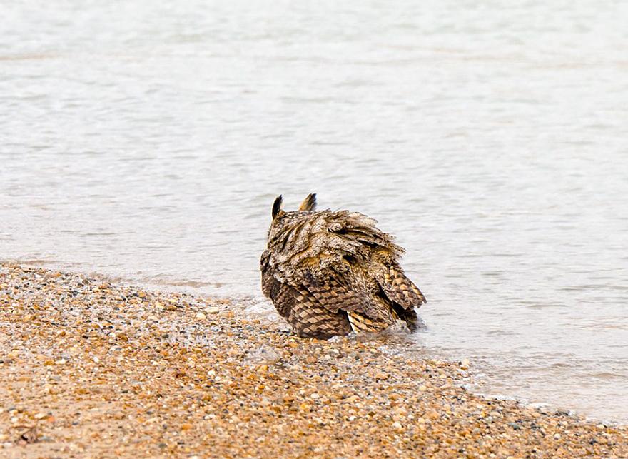 Aparentemente as corujas sabem nadar agora (4)