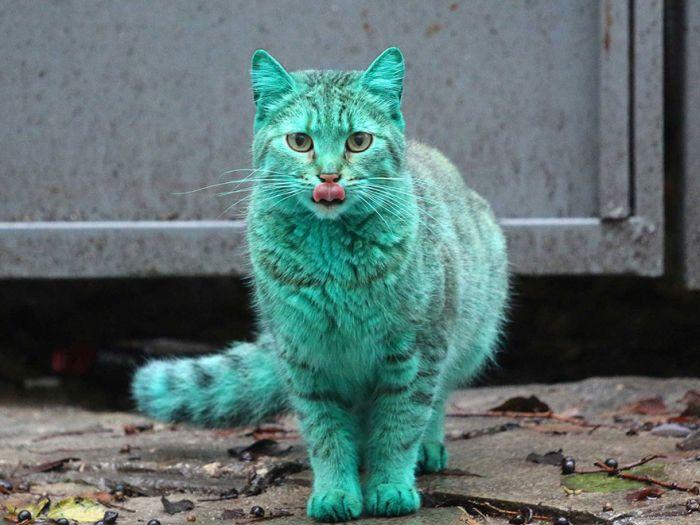 Gato verde vagando pelas ruas da Bulgária (1)