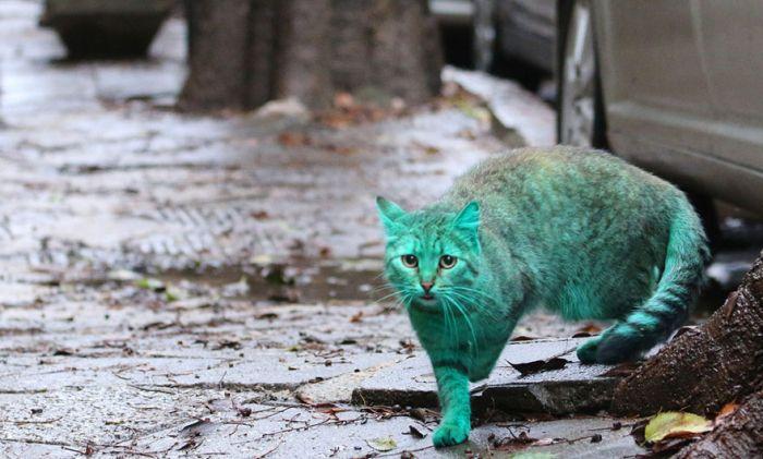 Gato verde vagando pelas ruas da Bulgária (3)