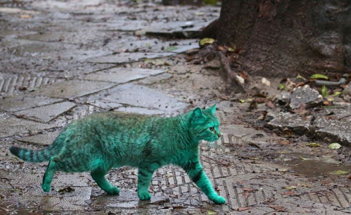 Gato verde vagando pelas ruas da Bulgária (4)
