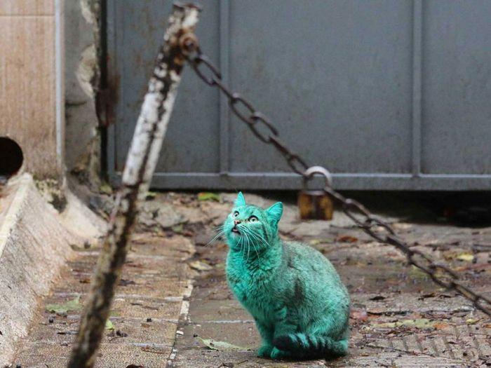 Gato verde vagando pelas ruas da Bulgária (5)