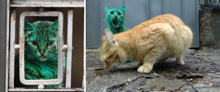 Gato verde vagando pelas ruas da Bulgária (6)