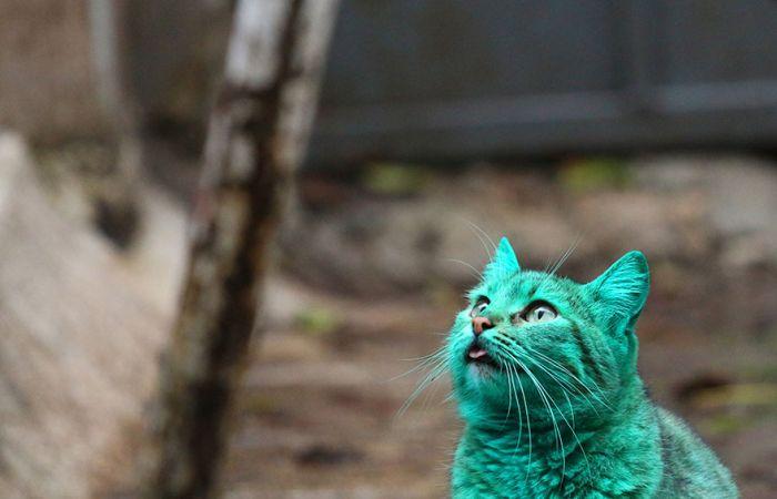 Gato verde vagando pelas ruas da Bulgária (7)