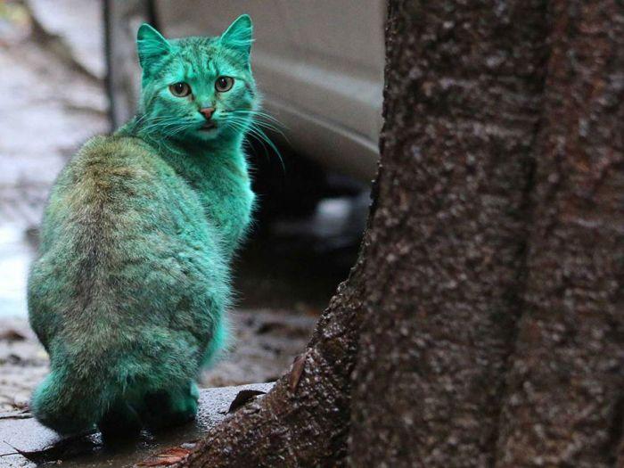 Gato verde vagando pelas ruas da Bulgária (8)