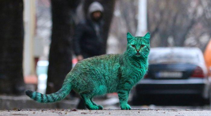Gato verde vagando pelas ruas da Bulgária (9)