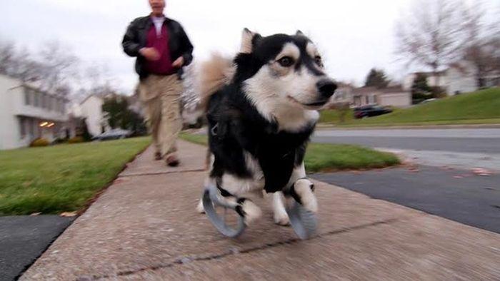 Graças a impressão 3D este cão pode andar novamente (2)