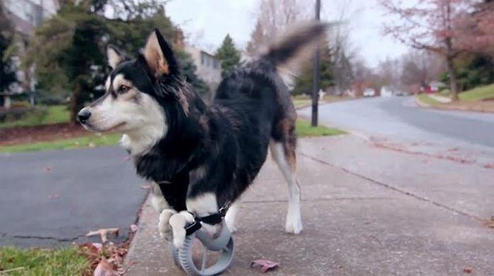 Graças a impressão 3D este cão pode andar novamente (3)