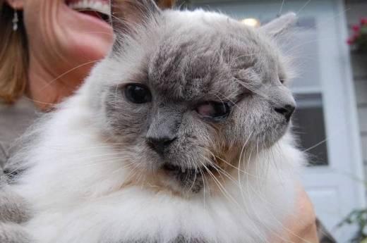 Morre o gato de duas cabeças mais velho do mundo
