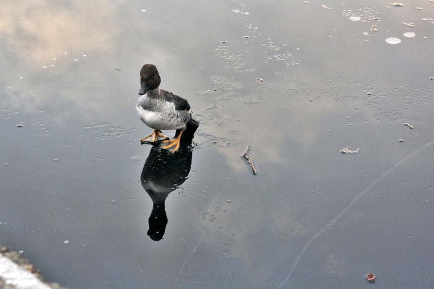 Norueguês mergulha em lago para salvar um pato em apuros (4)
