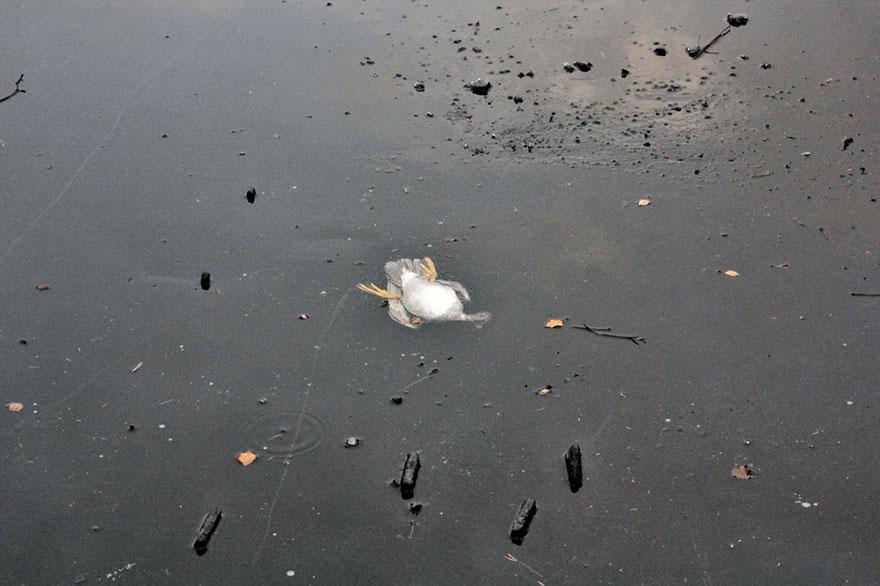 Norueguês mergulha em lago para salvar um pato em apuros (5)
