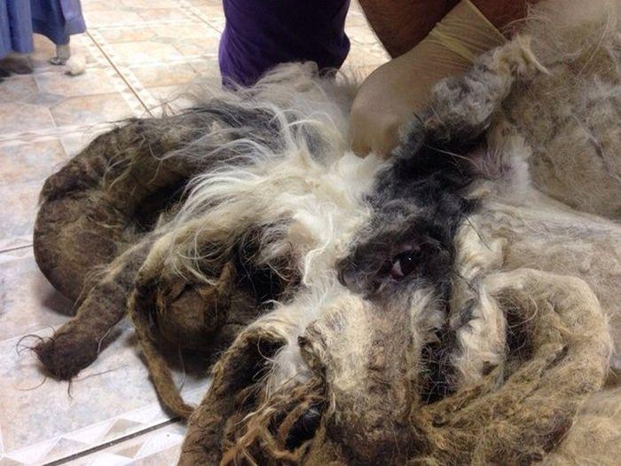 ocê não vai acreditar que há um cão debaixo de tudo esse pêlo (1)