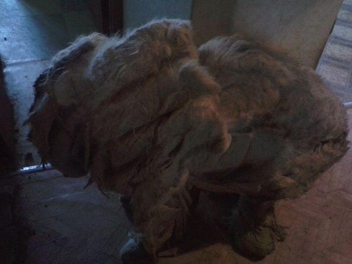 ocê não vai acreditar que há um cão debaixo de tudo esse pêlo (3)