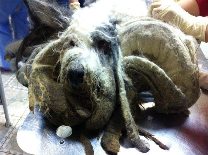 ocê não vai acreditar que há um cão debaixo de tudo esse pêlo (5)