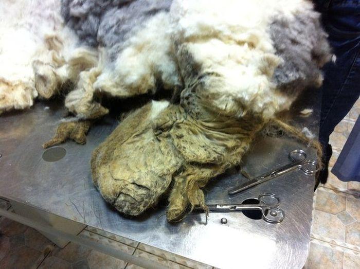ocê não vai acreditar que há um cão debaixo de tudo esse pêlo (7)