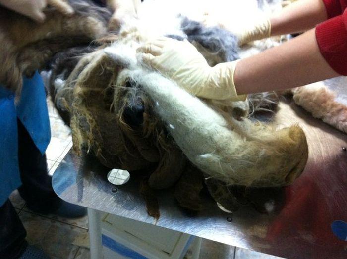 ocê não vai acreditar que há um cão debaixo de tudo esse pêlo (8)