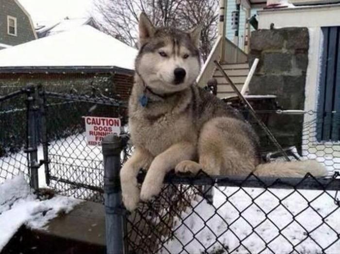 Cachorros-que-pensam-que-são-gatos  (1)
