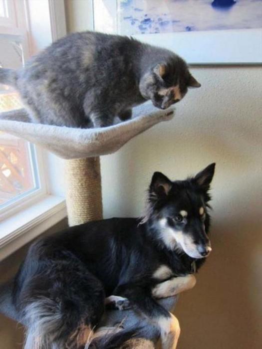 Cachorros-que-pensam-que-são-gatos  (11)