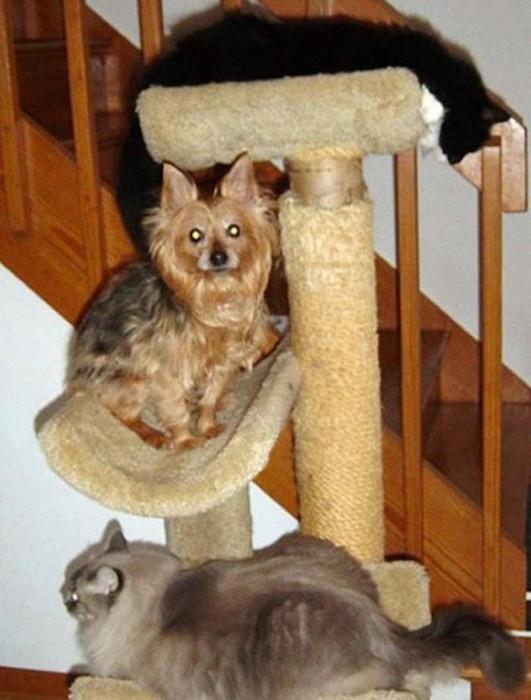 Cachorros-que-pensam-que-são-gatos  (13)