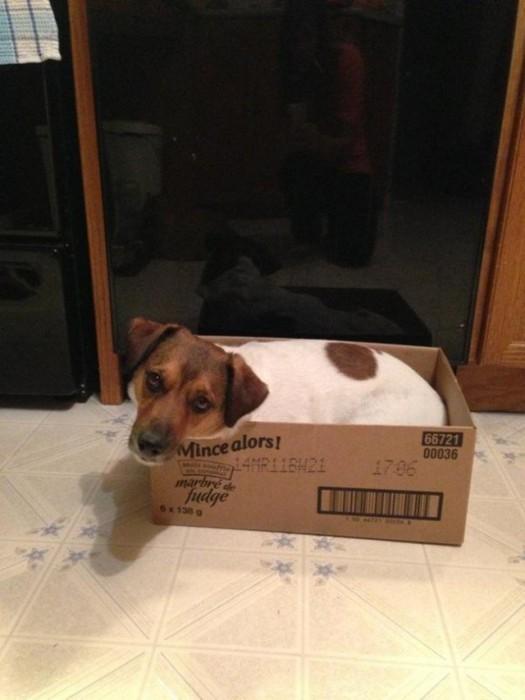 Cachorros-que-pensam-que-são-gatos  (17)