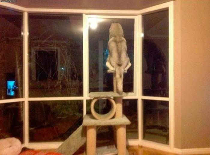 Cachorros-que-pensam-que-são-gatos  (3)