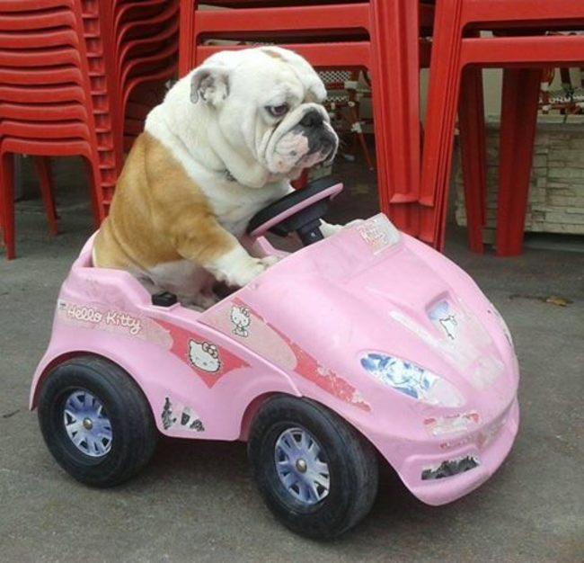 Coisas-que-só-quem-tem-um-Bulldog-entende (2)