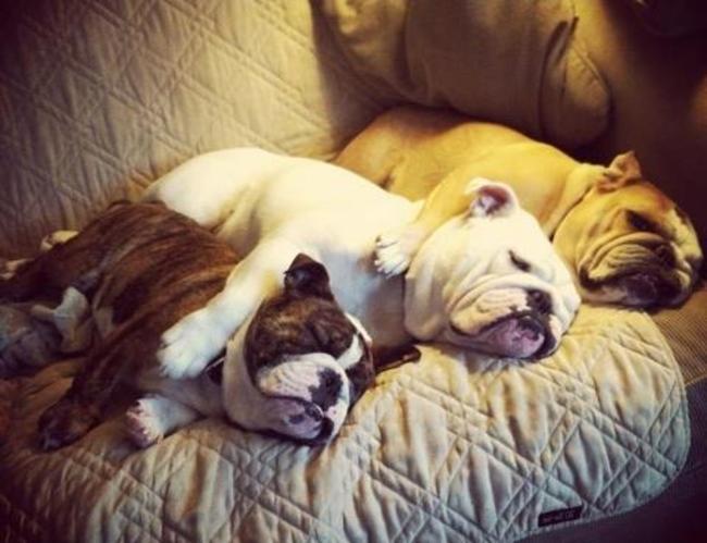 Coisas-que-só-quem-tem-um-Bulldog-entende (7)
