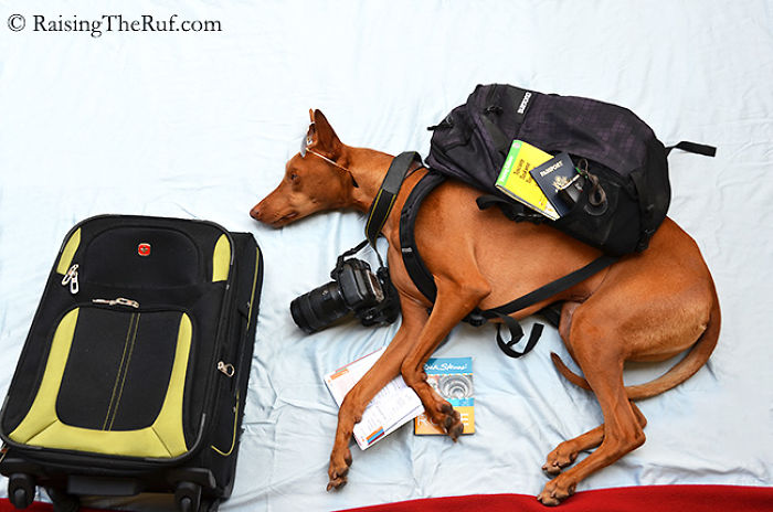 Conheça-Rufus-O-cão-que-tem-divertidas-aventuras-ao-dormir (2)
