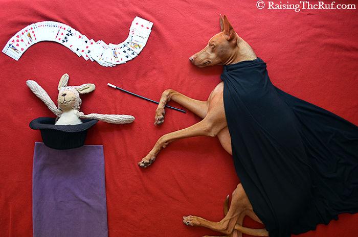 Conheça-Rufus-O-cão-que-tem-divertidas-aventuras-ao-dormir (3)