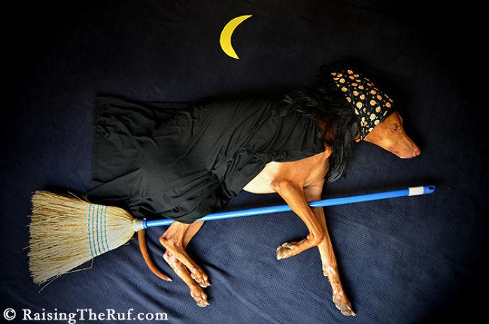 Conheça-Rufus-O-cão-que-tem-divertidas-aventuras-ao-dormir (7)