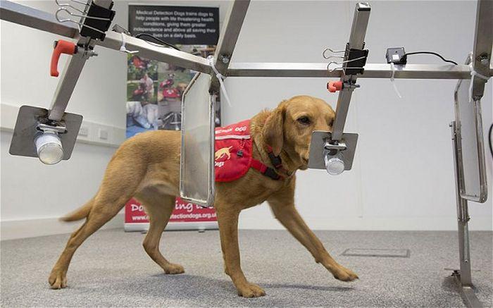 Daisy, a cadela que detecta câncer  (3)