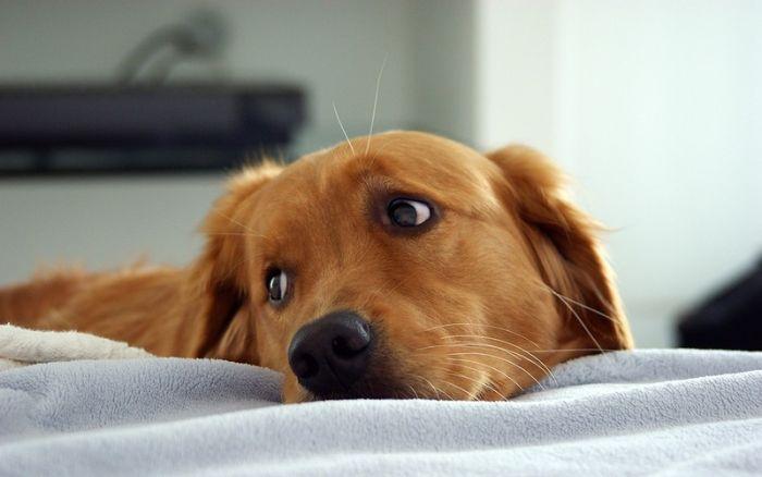 Daisy, a cadela que detecta câncer