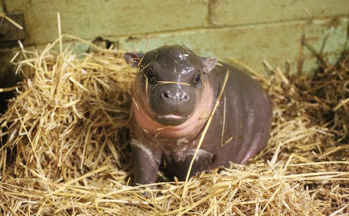 Este hipopótamo pigmeu recém-nascido é a coisa mais fofa (1)