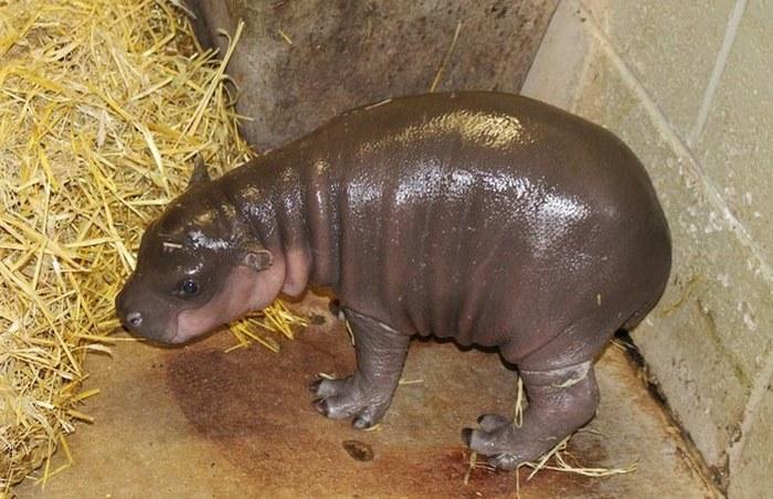 Este hipopótamo pigmeu recém-nascido é a coisa mais fofa (2)