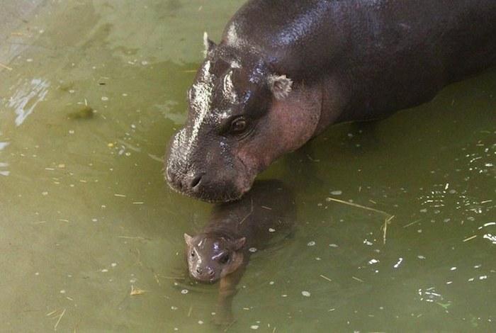 Este hipopótamo pigmeu recém-nascido é a coisa mais fofa (3)