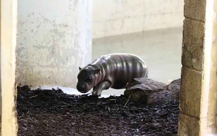 Este hipopótamo pigmeu recém-nascido é a coisa mais fofa (8)