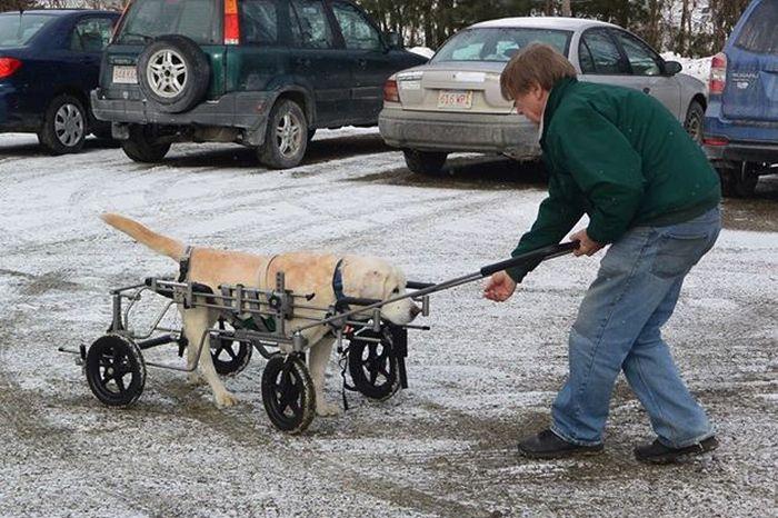 Estes cães em cadeiras de rodas são a coisa mais fofa (1)