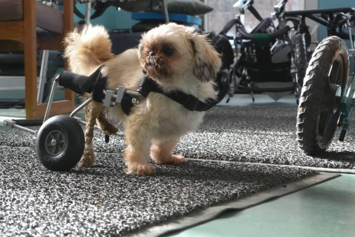 Estes cães em cadeiras de rodas são a coisa mais fofa (11)