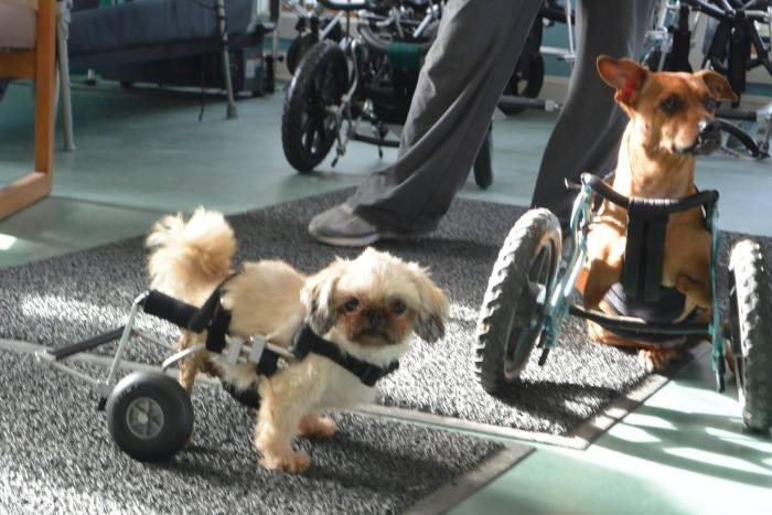 Estes cães em cadeiras de rodas são a coisa mais fofa (12)