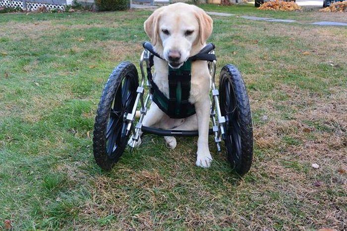 Estes cães em cadeiras de rodas são a coisa mais fofa (13)