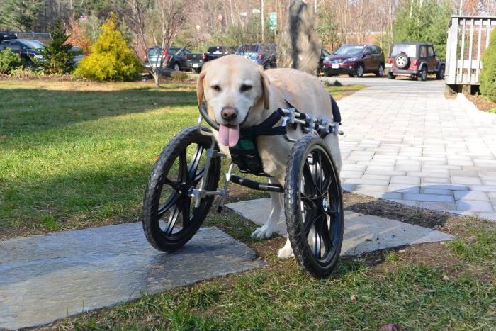 Estes cães em cadeiras de rodas são a coisa mais fofa (14)