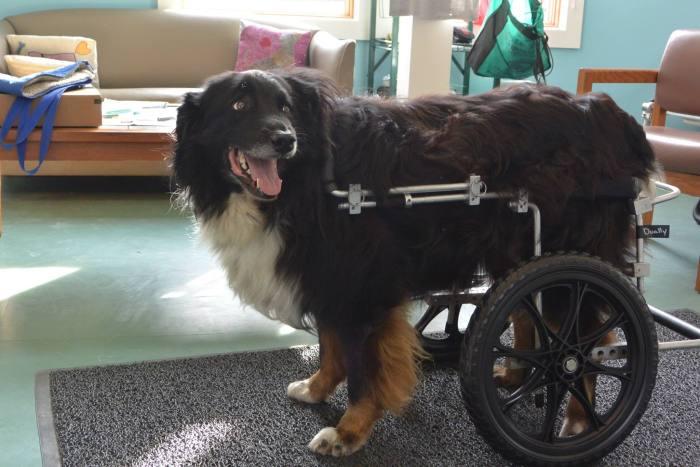 Estes cães em cadeiras de rodas são a coisa mais fofa (16)