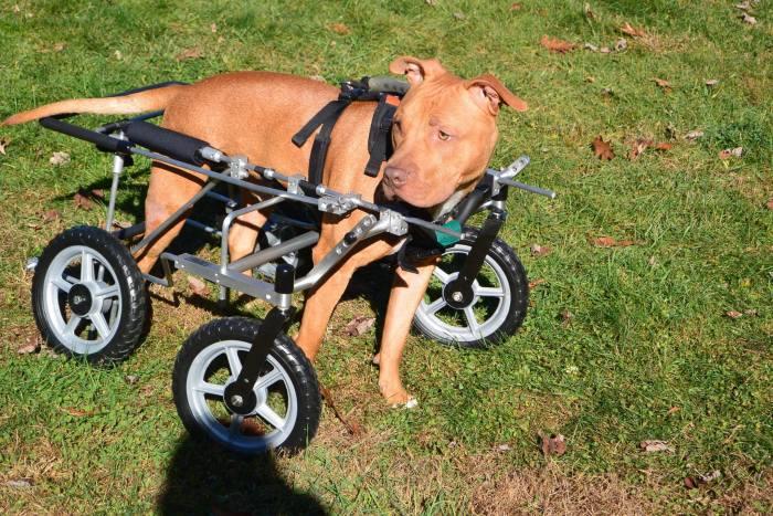 Estes cães em cadeiras de rodas são a coisa mais fofa (17)