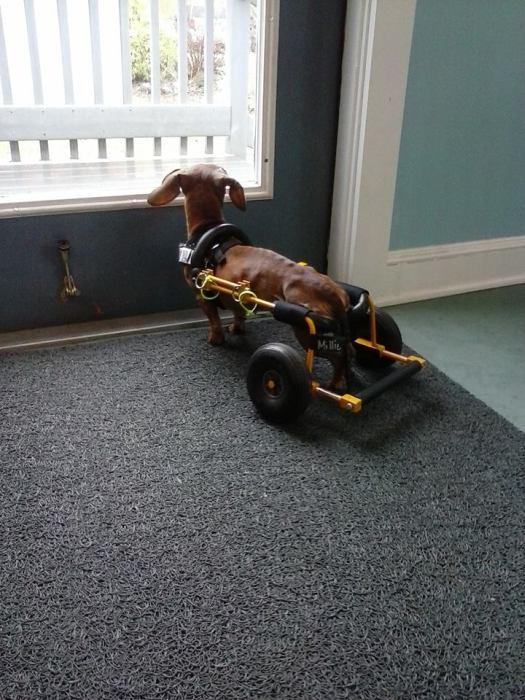 Estes cães em cadeiras de rodas são a coisa mais fofa (19)
