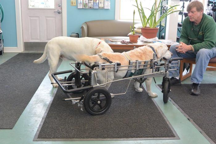 Estes cães em cadeiras de rodas são a coisa mais fofa (2)